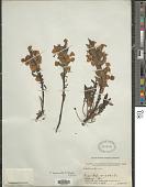 view Pedicularis bicornuta Klotzsch digital asset number 1