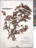 view Hesperomeles obtusifolia (Pers.) Lindl. digital asset number 1