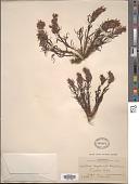 view Castilleja haydenii (A. Gray) Cockerell digital asset number 1