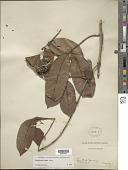 view Ambelania acida Aubl. digital asset number 1