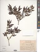 view Elatostema blechnoides Ridl. digital asset number 1