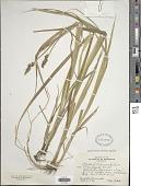 view Carex stipata Muhl. ex Willd. digital asset number 1