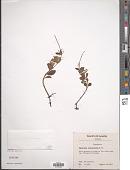 view Peperomia leptostachya Hook. & Arn. digital asset number 1