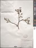 view Viscum rotundifolium L. f. digital asset number 1