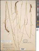 view Pseudoroegneria spicata (Pursh) Á. Löve digital asset number 1