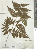 view Davallia divaricata Blume digital asset number 1