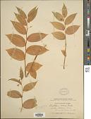 view Streptopus roseus var. curvipes (Vail) Fassett digital asset number 1
