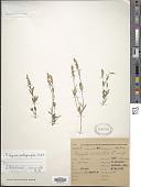 view Polygala molluginifolia A. St.-Hil. & Moq. digital asset number 1