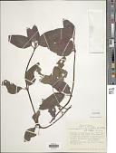 view Coccocypselum lanceolatum (Ruiz & Pav.) Pers. digital asset number 1