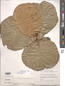 view Quercus coccolobifolia Trel. digital asset number 1