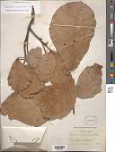 view Quercus crassifolia Humb. & Bonpl. digital asset number 1