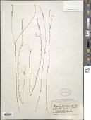 view Polygala leptocaulis Torr. & A. Gray digital asset number 1