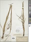 view Carex venusta Dewey digital asset number 1