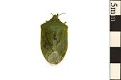 view Southern Green Stink Bug digital asset number 1