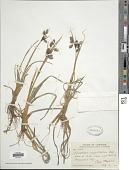 view Eriophorum angustifolium Honck. digital asset number 1
