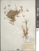 view Dactyloctenium aegyptium (L.) Richt. digital asset number 1