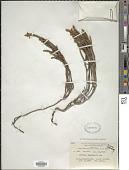 view Cassiope fastigiata (Wall) D. Don digital asset number 1