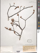 view Quercus phellos L. digital asset number 1