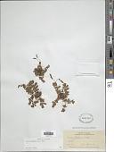 view Anemia oblongifolia (Cav.) Sw. digital asset number 1