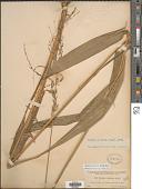 view Setaria palmifolia (J. Koenig) Stapf digital asset number 1