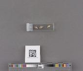 view Mitrella carinata (Hinds) digital asset number 1
