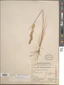 view Chaetotropis imberbis (Phil.) Björkman digital asset number 1