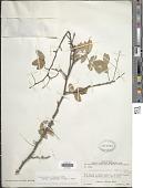 view Pterocarpus lucens Lepr. ex Guill. & Perr. digital asset number 1