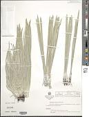 view Espeletiopsis pannosa (Standl.) Cuatrec. digital asset number 1