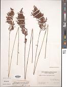 view Leptocarpus scariosus R. Br. digital asset number 1
