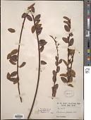 view Berchemia polyphylla Wall. ex M.A. Lawson digital asset number 1