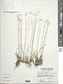 view Trichophorum hudsonianum (Michx.) Pers. digital asset number 1