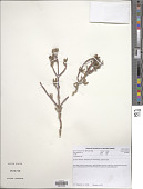 view Lampranthus sp. digital asset number 1