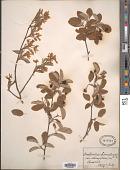 view Amelanchier canadensis (L.) Medic. digital asset number 1