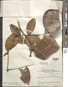 view Eperua jenmanii subsp. sandwithii R.S. Cowan digital asset number 1