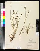 view Sisyrinchium scabrum Schltdl. & Cham. digital asset number 1
