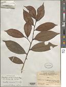 view Camellia assamica (J.W. Mast.) Hung T. Chang digital asset number 1