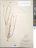 view Polygala squamifolia C. Wright in Griseb. digital asset number 1