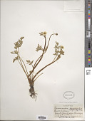 view Ranunculus peduncularis Sm. digital asset number 1
