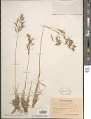 view Deschampsia cespitosa var. alpina Vasey ex Beal digital asset number 1