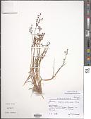 view Juncus alpinoarticulatus Vill. digital asset number 1