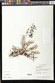 view Pleopeltis burchellii (Baker) Sprunt & Hickey digital asset number 1