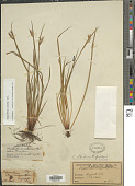 view Sisyrinchium albidum digital asset number 1