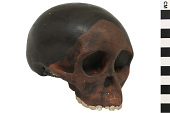 view Taung Child, Fossil Hominid digital asset number 1