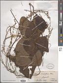 view Dioscorea semperflorens Uline digital asset number 1