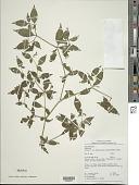 view Capsicum annuum var. glabriusculum (Dunal) Heiser & Pickersgill digital asset number 1