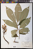 view Aesculus octandra Marshall digital asset number 1