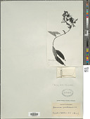 view Bomarea edulis (Tussac) Herb. digital asset number 1