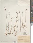 view Vahlodea atropurpurea (Wahlenb.) Fr. ex Hartm. digital asset number 1