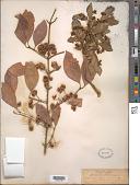 view Euonymus europaeus L. digital asset number 1