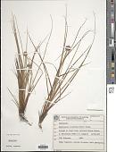 view Rhynchospora recurvata (Nees) Steud. digital asset number 1